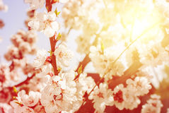 Cherry Blossom in Spring Sunny Day. natural background Stock Photography
