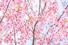 Pinkish Cherry Blossom royalty free stock photo