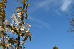 Cherry blossom in spring time. Blooming cherry tree spring time royalty free stock image