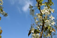 Cherry blossom in spring time. Blooming cherry tree spring time stock photo