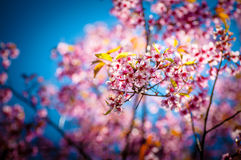 Cherry blossom. In spring time, sakura in Thailand Stock Photos