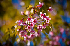 Cherry blossom. In spring time, sakura in Thailand Royalty Free Stock Photos