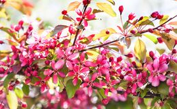Cherry blossom spring time sunny day garden landscape. Blossoming purple petals fruit tree branch, tender blurred green stock photography