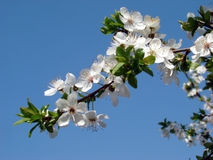 Cherry blossom. Spring blossom trees and blue sky royalty free stock image