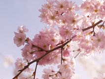 Cherry blossom in the spring Royalty Free Stock Images