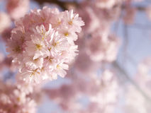 Cherry blossom in the spring Royalty Free Stock Photo
