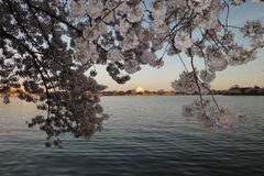 Cherry blossom spring in washington dc royalty free stock photography