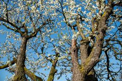 Cherry blossom in spring. White cherry blossoms in spring against a clear blue  sky. old cherry tree Stock Photo