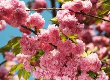 Cherry blossom in springtime, beautiful flowers. Sakura Stock Photos
