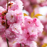 Cherry blossom in springtime Royalty Free Stock Photo