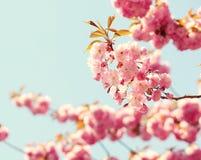 Cherry blossom in springtime Stock Photo
