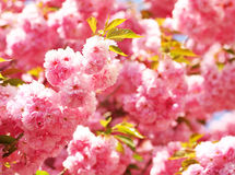Cherry blossom in springtime, beautiful pink flowers Stock Images