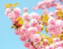 Cherry blossom in springtime, beautiful pink flowers. Sakura Royalty Free Stock Photo