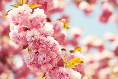 Cherry blossom in springtime, beautiful pink flowers Royalty Free Stock Photography