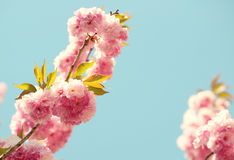 Cherry blossom in springtime, beautiful pink flowers Royalty Free Stock Image