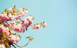 Cherry blossom in springtime, beautiful pink flowers Stock Photos