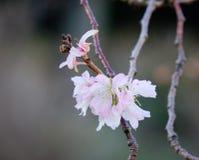 Cherry blossom at the springtime Stock Photo