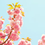Cherry blossom in springtime, flowers. Sakura Royalty Free Stock Images
