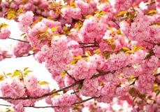 Cherry blossom in springtime, pink flowers. Sakura Stock Photo