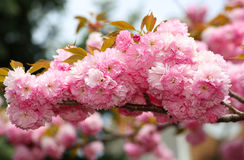 Cherry blossom in springtime, pink flowers. Sakura Stock Images