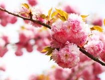Cherry blossom in springtime, pink flowers. Sakura Stock Photos