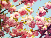 Cherry blossom in springtime, pink flowers. Sakura Royalty Free Stock Images