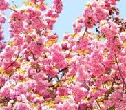 Cherry blossom in springtime. Sakura Royalty Free Stock Images