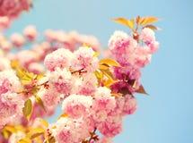 Cherry blossom in springtime. Sakura Royalty Free Stock Photos