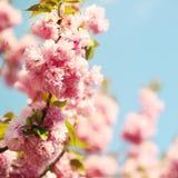 Cherry blossom in springtime. Sakura Royalty Free Stock Photo