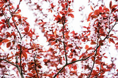Cherry blossom in springtime Stock Photography