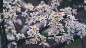 Cherry blossom at springtime, stabilized camera tracking