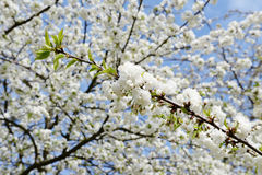 Cherry blossom in springtime Stock Photos