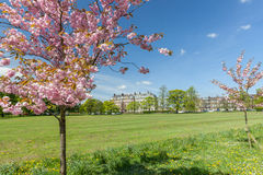 Cherry blossom on the stray. In Harrogate Stock Image