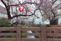 Cherry blossom with stream and wood bridge at Japan on April 1, 2017 Stock Image