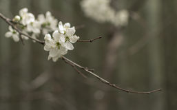 Cherry Blossom in Summer Stock Images