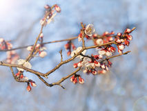 Cherry blossom in sun Royalty Free Stock Images