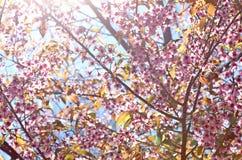 Cherry blossom and sunlight. Beautiful pink cherry blossom flower and sunlight Stock Photos