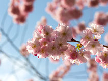 Cherry blossom in the sunlight Royalty Free Stock Photos