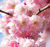 The cherry blossom in the sunlight Royalty Free Stock Photography