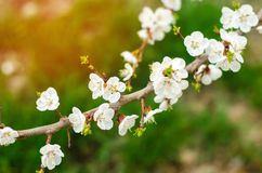 Cherry blossom on a sunny day, the arrival of spring, the blossoming of trees, buds on a tree, natural wallpaper royalty free stock photos