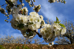 Cherry blossom in a sunny day. Cherry blossom and blue sky Royalty Free Stock Images