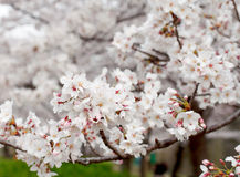Cherry blossom on a sunny day in spring,  Osaka Japan Stock Images