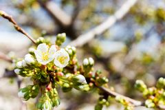 Cherry blossom sunny spring background. Blooming Cherry Tree royalty free stock photography
