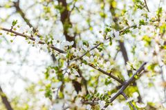 Cherry blossom sunny spring background. Blooming Cherry Tree stock photo