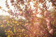 Cherry blossom in sunny weather royalty free stock photos