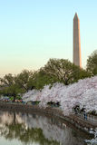 Cherry Blossom at sunrise royalty free stock photography