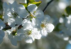 Cherry blossom in sunset light royalty free stock image