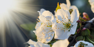 Cherry blossom in sunset light Stock Image
