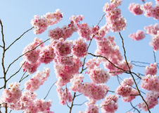 Cherry blossom in the sunshine Stock Images