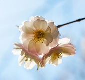Cherry blossom in the sunshine Royalty Free Stock Photography